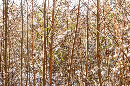 Jumble of straight grown young deciduous trees in winter as a background