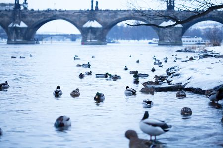 beautiful ducks in the river Vltava photo