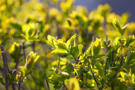 sun drenched: young spring foliage of a sun drenched Stock Photo