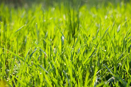 background young grass with dew photo