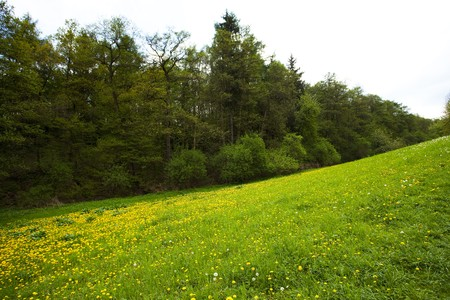 a field of dandelions in the woods against the sky Stock Photo - 7173163