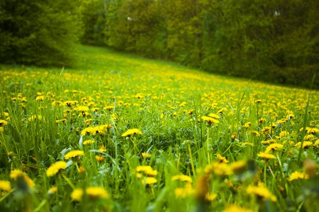 background field of dandelions in the woods Stock Photo - 7181010