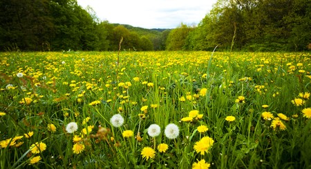large field of dandelions in the woods photo