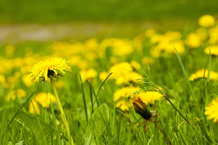 large field of dandelions Stock Photo - 7181020