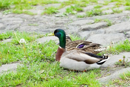 ducks sitting on the grass photo