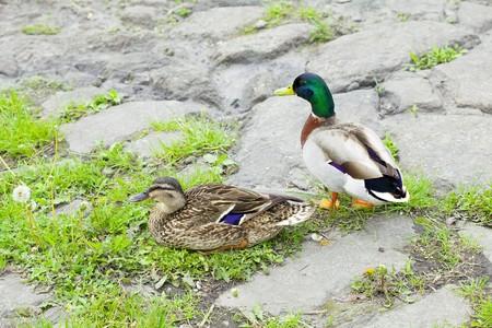 ducks sitting on the grass photo