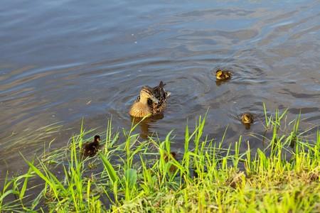 pato con patitos nadando en el agua  Foto de archivo - 7200808