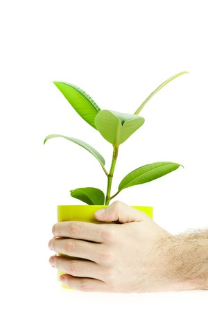 rubber plant: Ficus in the hands isolated on white Stock Photo