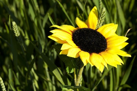 sunflowers on a background of green grass photo