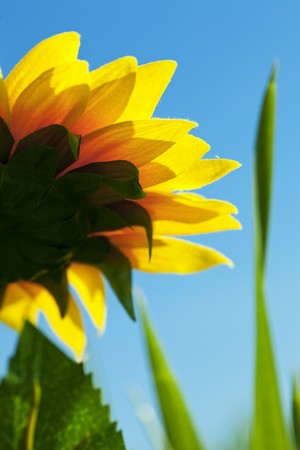 sunflowers on a background of blue sky photo