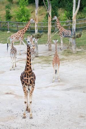 giraffes in the savanna photo
