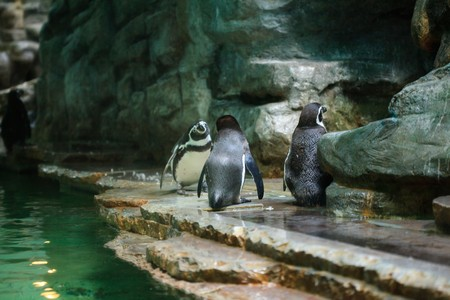 penguins are standing at the water photo