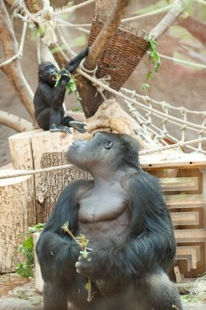 gorilla in the aviary Stock Photo - 7716301