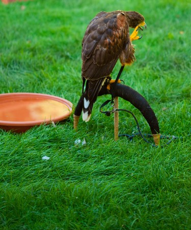eagle on a background of green grass Stock Photo