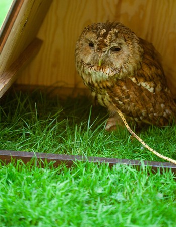 owl on a background of green grass photo