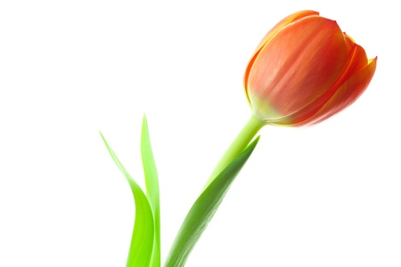 orange cut: multicolored tulips isolated on white
