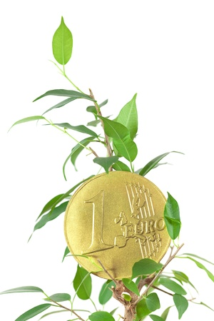 rubber plant: ficus  and one euro coin isolated on white