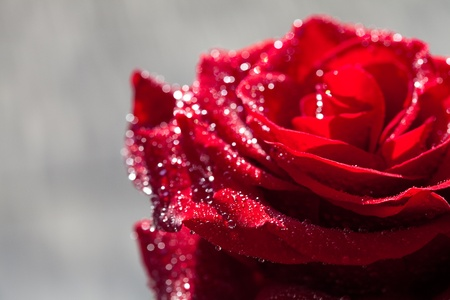 background of the big beautiful red rose with water drops photo