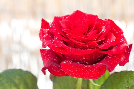 big beautiful red rose with water drops photo
