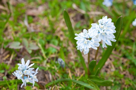 blue snowdrop on the background of green grass photo