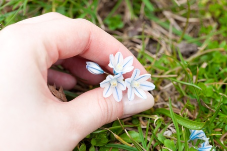 blue snowdrop in hand against the green grass photo