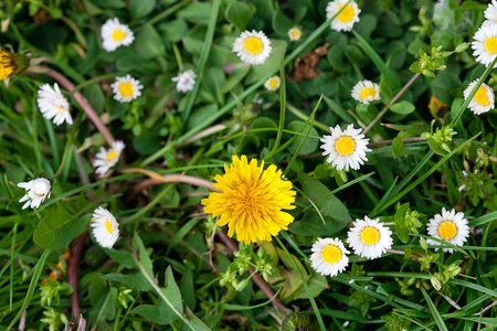 background of dandelions, green grass and daisies photo