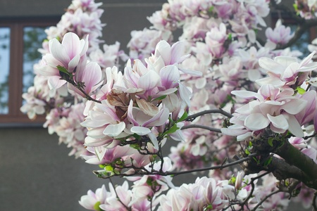 magnolia tree in the background of the house photo