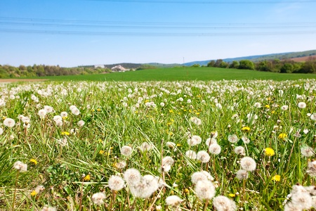 field of dandelions on a background of blue sky photo