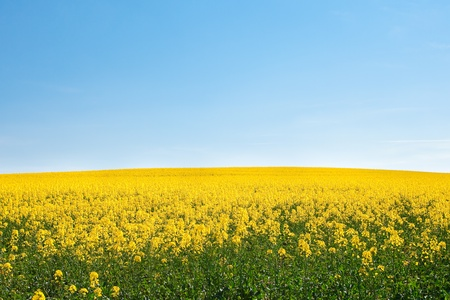 field of yellow rape against the blue sky Stock Photo - 9527746