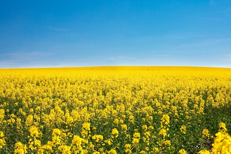 field of yellow rape against the blue sky Stock Photo - 9527806