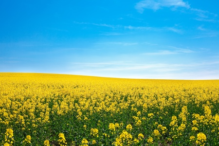 field of yellow rape against the blue sky Stock Photo - 9527787