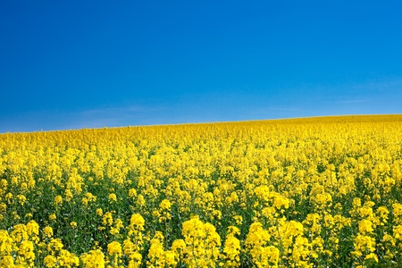 field of yellow rape against the blue sky Stock Photo - 9527795
