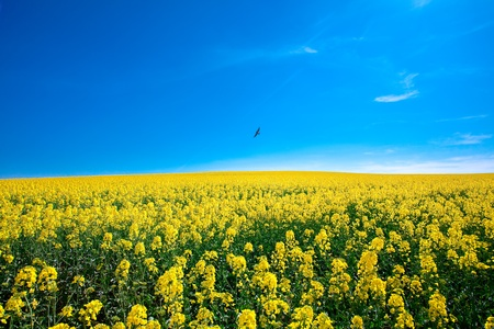 field of yellow rape against the blue sky with bird Stock Photo - 9527794