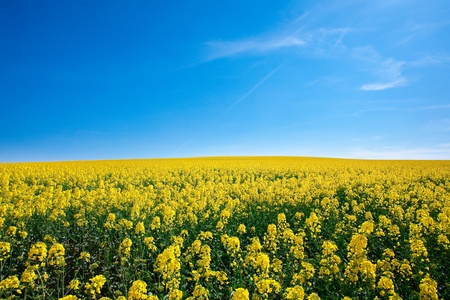 field of yellow rape against the blue sky Stock Photo - 9527788