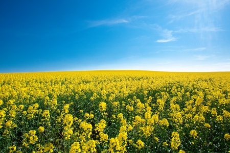 field of yellow rape against the blue sky Stock Photo - 9527793