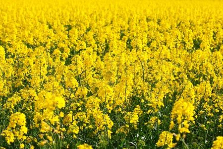 background field of yellow rape Stock Photo - 9527792