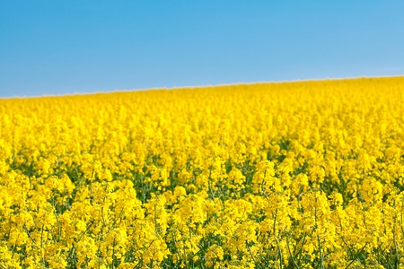 field of yellow rape against the blue sky Stock Photo - 9527743