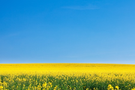 field of yellow rape against the blue sky Stock Photo - 9527741