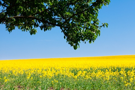 field of yellow rape and tree against the blue sky Stock Photo - 9527739