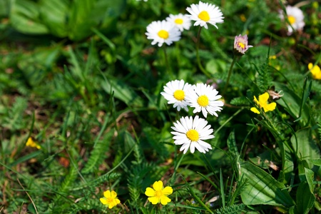 camomile  against the background of green grass Stock Photo - 9528230