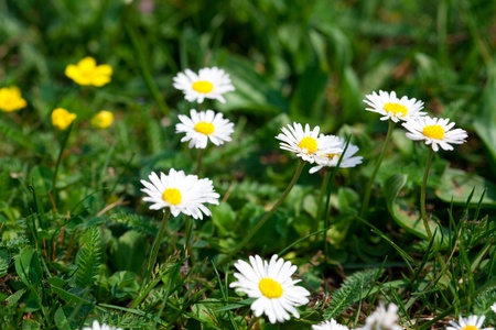 camomile  against the background of green grass Stock Photo - 9528229