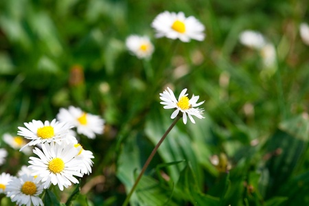 camomile  against the background of green grass Stock Photo - 9528228