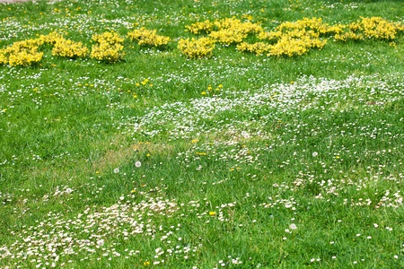 foretaste: chamomile, snowdrops and dandelions on the background of green grass