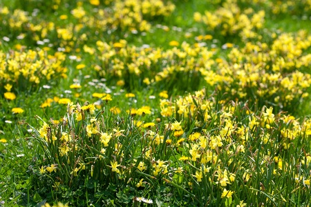 foretaste: snowdrops and dandelions on the background of green grass