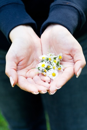 camomile in the hands of women photo