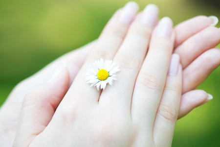camomile in the hands of women Stock Photo
