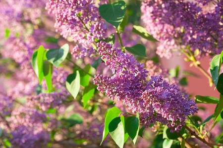 purple flowers: bushes of a blooming spring lilac