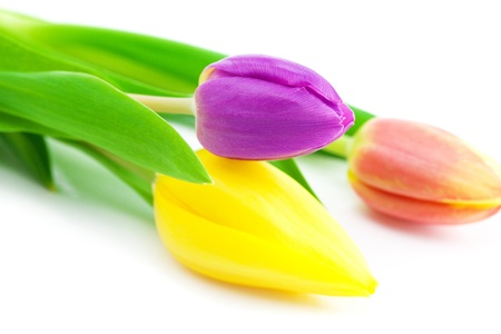 colorful tulips isolated on white photo