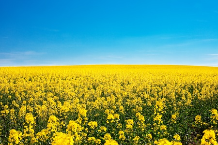 field of yellow rape against the blue sky Stock Photo - 9880229