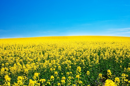 field of yellow rape against the blue sky